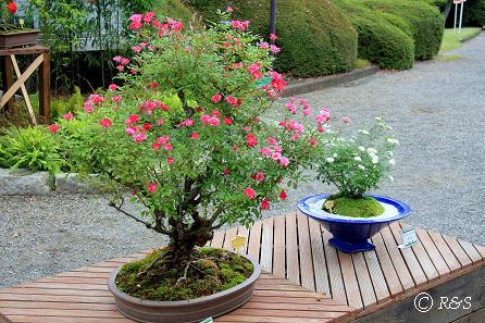 神代植物園-ミニバラ盆栽展1IMG_9679