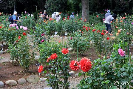 神代植物園-ダリア1IMG_9689