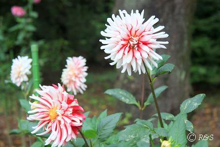 神代植物園-ダリア3IMG_9693