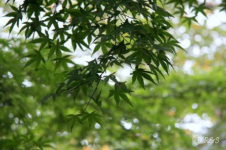 神代植物園-モミジ1IMG_9652