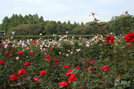 神代植物園バラ1IMG_9771