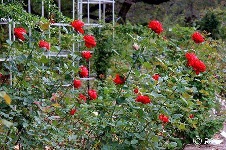 a神代植物園ー国際ばら新品種コンクール花壇1IMG_9715
