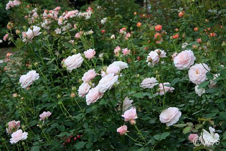a神代植物園ー国際ばら新品種コンクール花壇2IMG_9719