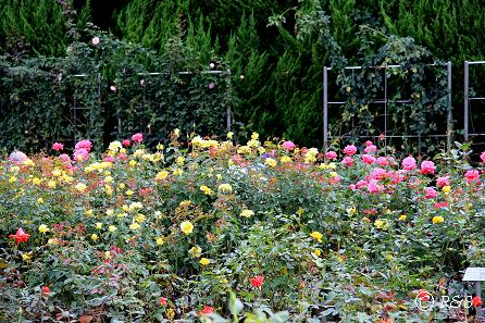 b神代植物園ーバラ園11IMG_9789