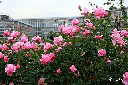 c神代植物園ーその他のバラ1IMG_9738