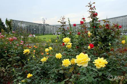 c神代植物園ーその他のバラ7IMG_6412