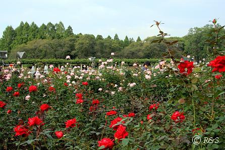 c神代植物園ーアメリカーナ1IMG_9771