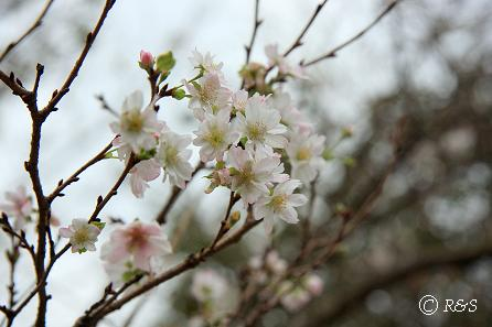 d神代植物園-十月桜2IMG_9851