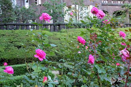 旧古河庭園22ピンクピースIMG_6981