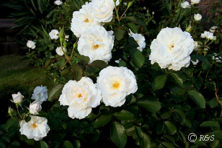 旧古河庭園14プリンセスオブウェールズIMG_6954