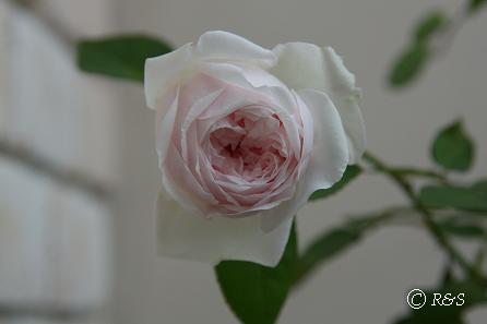庭の花7IMG_8480