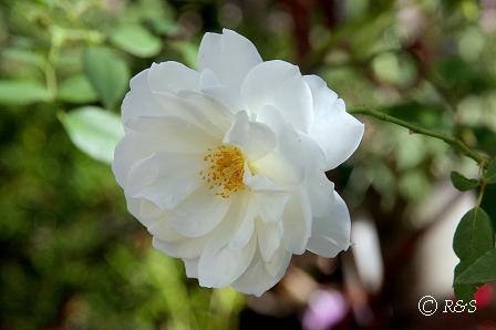 庭の花2IMG_8344-1