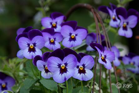 庭の花6IMG_8475
