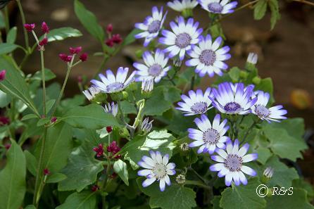 庭の花8IMG_8485