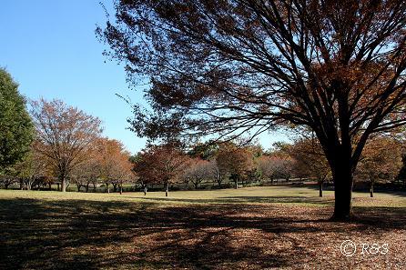公園の木IMG_9999