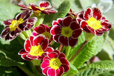 庭の花1IMG_9991