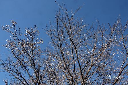 公園の桜10IMG_0024