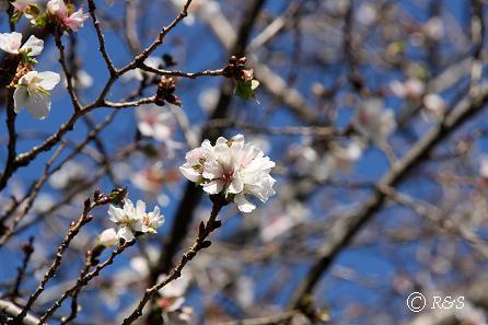 公園の桜11IMG_0025