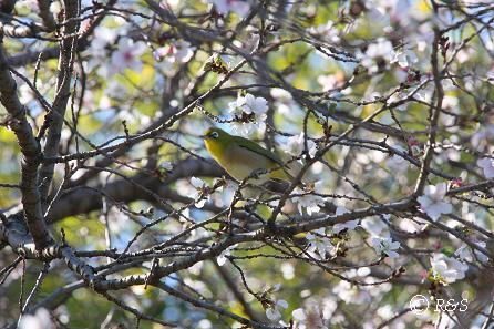 公園の桜4IMG_0016-1