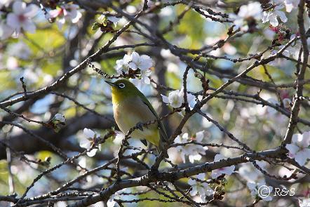 公園の桜6IMG_0017-2