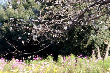 公園の桜12IMG_0033