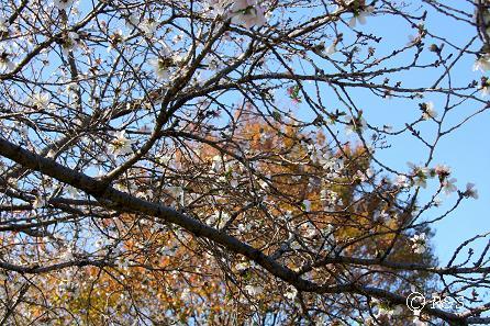 公園の桜20IMG_0020-4