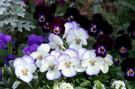 花壇のビオラ202