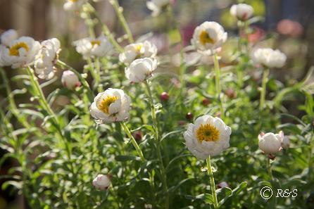 花かんざし1IMG_1424