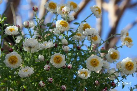 花かんざしIMG_3272
