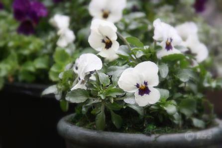 白いビオラ4IMG_3507