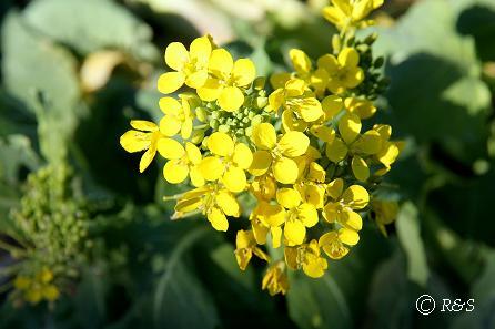 菜の花1IMG_3746