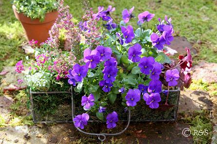 庭のビオラIMG_3754