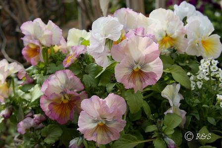 庭の花4IMG_3932