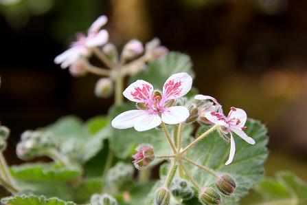 庭の花3IMG_3928