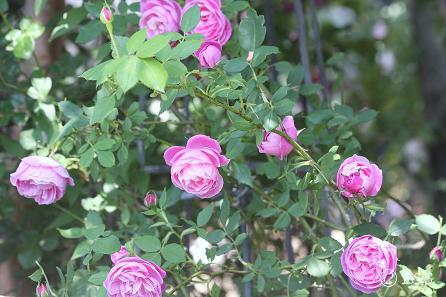 ラ・レーヌ・ビクトリア20080520-11IMG_8050