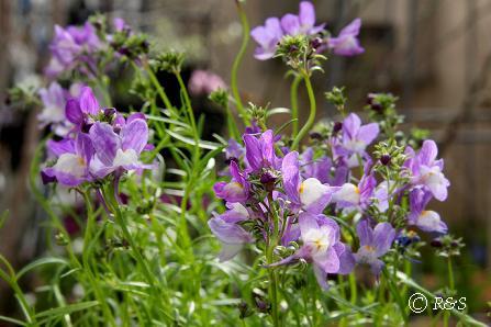 庭の花6IMG_3934-3