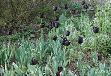 神代植物公園-チューリップI小MG_9934