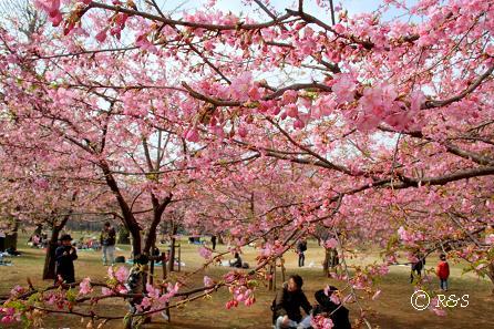 代々木公園-桜9IMG_4433