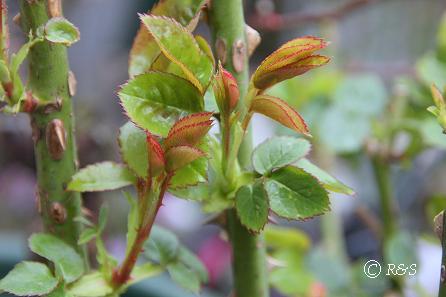 バラの芽1IMG_5075