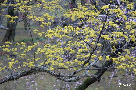 神代植物園-サンシュユ3IMG_5238
