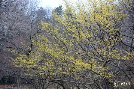 神代植物園-サンシュユ1IMG_5233