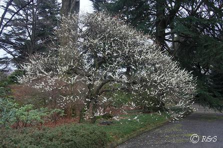 神代植物園-白加賀1IMG_5219
