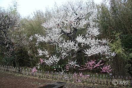 神代植物園-輪違い1IMG_5276