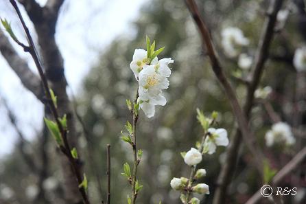 神代植物園-ハナモモ6IMG_5328