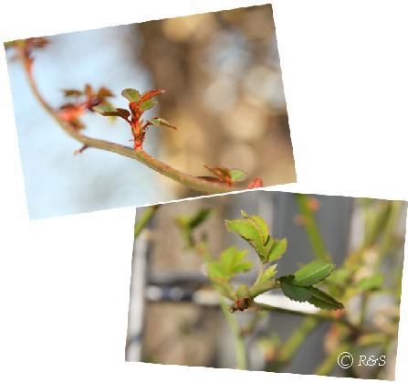 バラの芽2