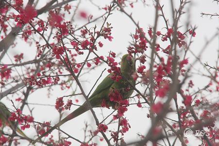 カンヒザクラと鳥4IMG_5972