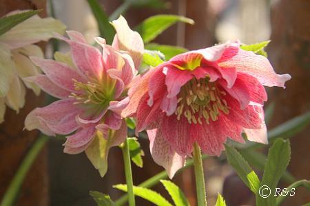 庭のクリロー5IMG_5832-1