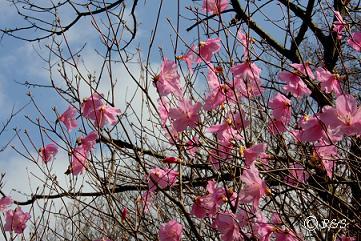 紅花やしおつつじ2IMG_6816