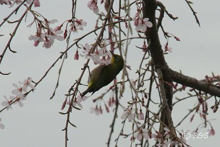 しだれ桜IMG_6749
