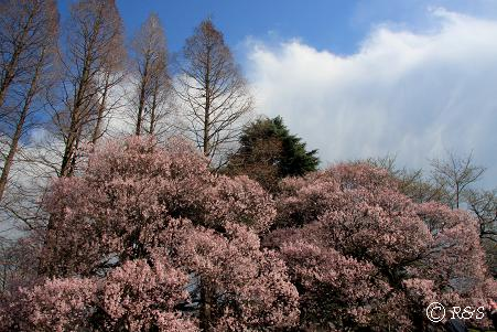 新宿御苑104-コヒガン3IMG_6059
